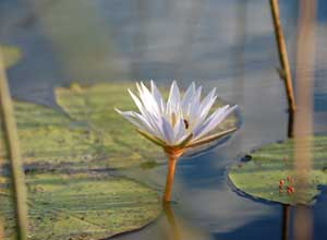 Water lily in the Delta