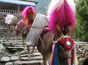Mule train, Annapurnas
