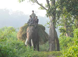 Working elephant in Chitwan
