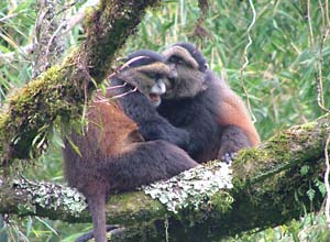 Golden monkeys in Volcanoes NP, Rwanda