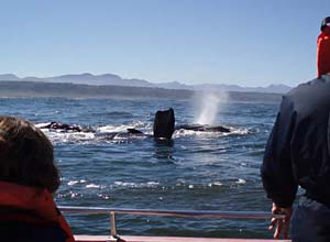 whale watching with Ocean adventures