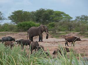 Elephants and buffalos on banks of Kazinga Channel