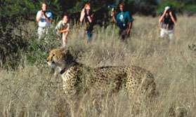 See big cats at AfriCat