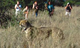 See big cats at AfriCat