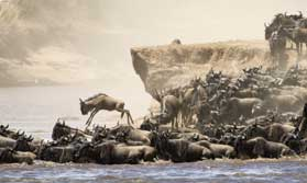 Wildebeest on migration