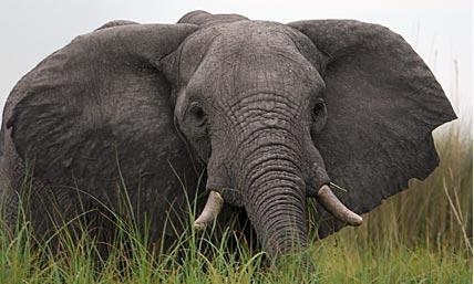 Bull elephant in Botswana