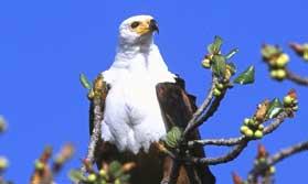 Fish Eagle Safari