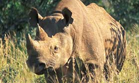 Helping Rhinos