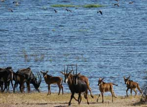 Sable antelope in Chobe National Park