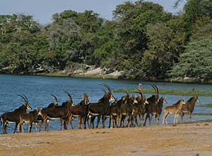 Sable by the Chobe River