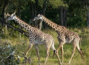 Giraffes in South Luangwa