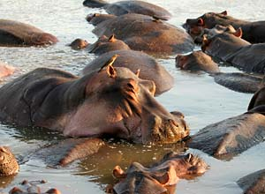 Hippos in the Luangwa