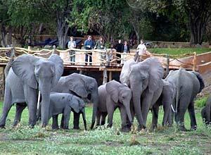 Elephants close to Kafunta River Lodge