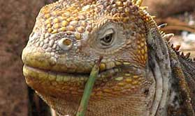 Iguana in Ecuador