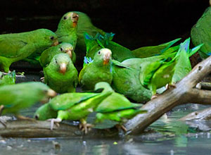 See parrots at the clay lick in Yasuni National Park