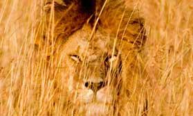 Masai Mara big cat safari