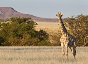 Giraffe in Damaraland