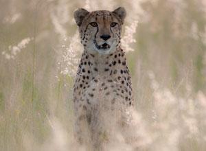 Cheetah at AfriCat