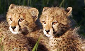Cute cheetah cubs will charm young and old alike