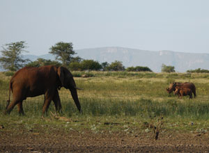 Elephants and rhinos in Pongola Game Reserve