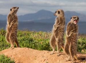 See meerkats near Tswalu