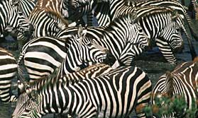 Zebras on migration in the Serengeti