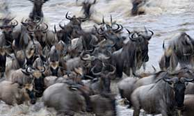 The migration in north Serengeti