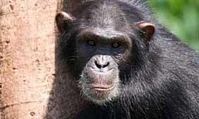 gorilla on the Uganda safari