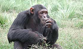 Chimp on Uganda tour