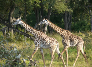 Giraffes near Island Bush Camp