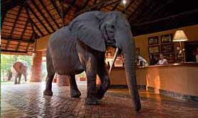 Elephant at Mfuwe Lodge