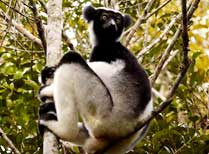 Andasibe Mantadia National Park - Indri