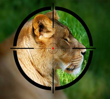 Lion in gun sights